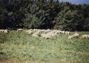 Lambs on Birdsfoot Trefoil