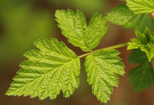 Salmonberry Leaf Tea Salmonberry Leaf