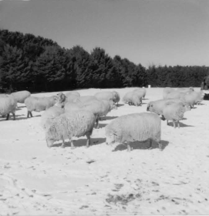 Sheep before winter shearing and lambing.