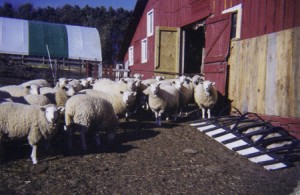 Ewe Lambs Retained For The Flock