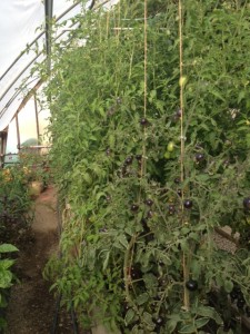 Trellised heirloom tomatoes in the Chico Hot Springs Resort greenhouse.