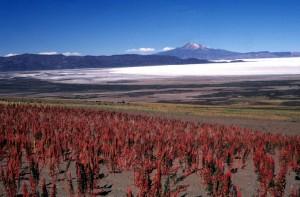 Quinoa growning near high mountain salt flats