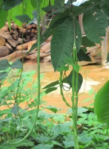 Long Bean - Amazon Jungle, Suriname
