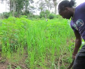 Rice - Amazon Jungle, Suriname