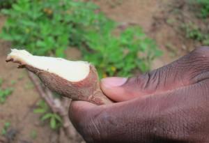 Cassava - Amazon Jungle, Suriname