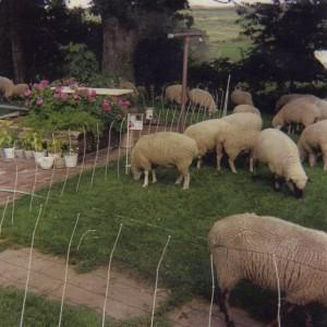 Ewes harvesting the acorns 1