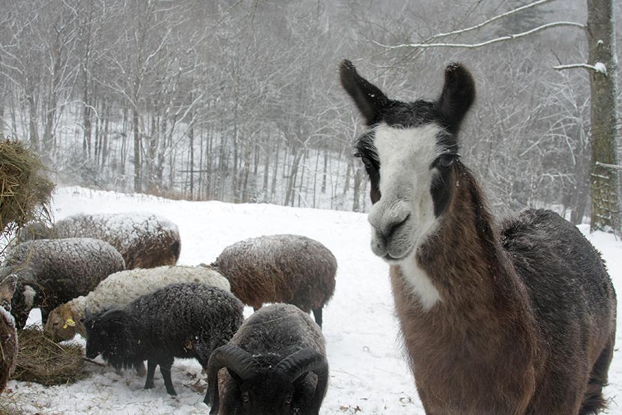 The guard llama