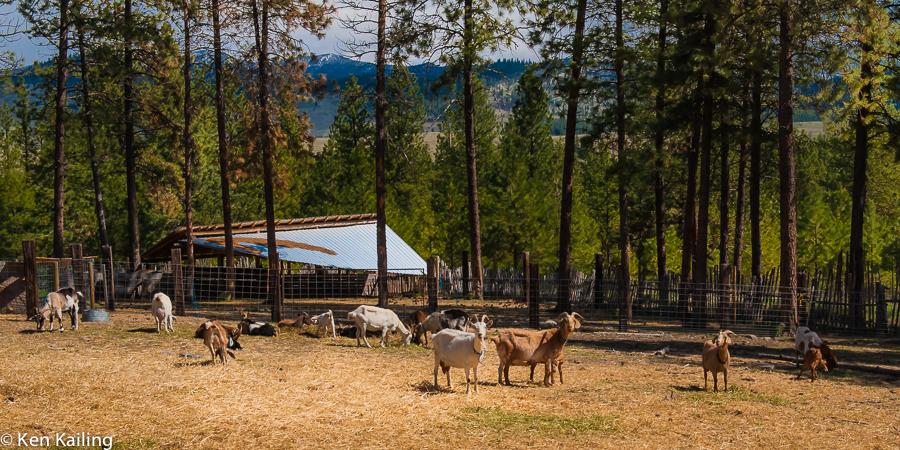Goats at Pine Stump Farms, Omak WA