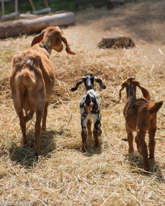 New goats at Pine Stump Farms