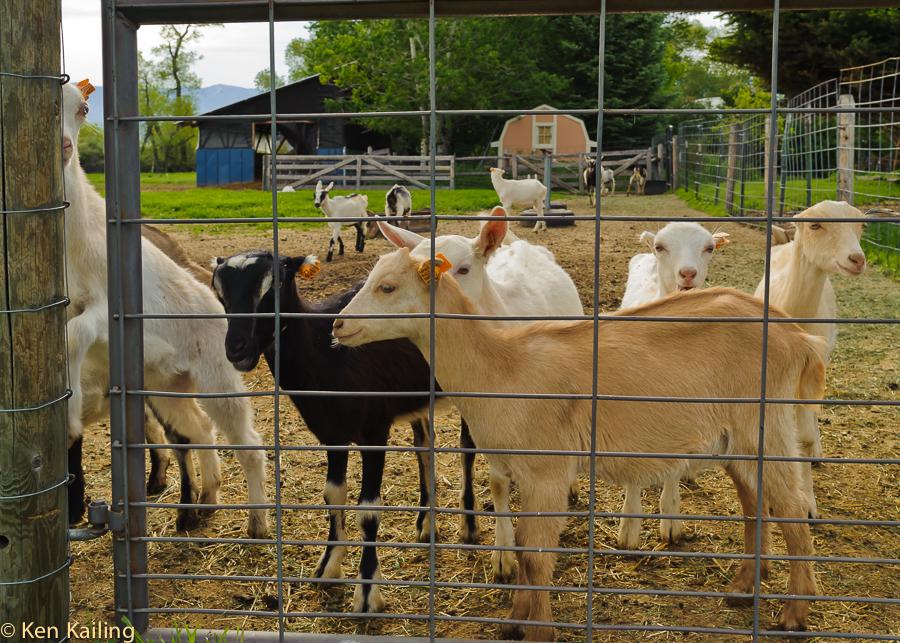 Goats at Amaltheia Dairy, Belgrade MT
