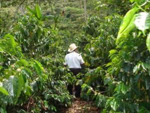 A coffee farm.