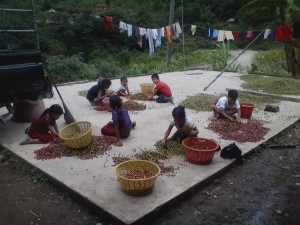 Shelling coffee beans by hand.